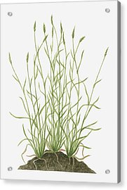 Illustration Of Anthoxanthum Odoratum (sweet Vernal Grass) Wild Grass With Flower Spikes Growing On Mound Acrylic Print