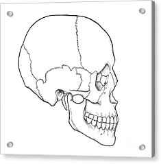 Illustration Of Human Skull Acrylic Print by Science Source