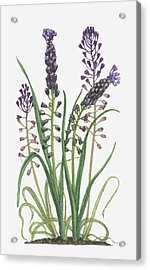 Illustration Of Leopoldia Comosa Syn Muscari Comosum (tassel Hyacinth) Bearing Violet-blue Flowers And Buds On Tall Stems And Long Green Leaves Acrylic Print by Barbara Walker