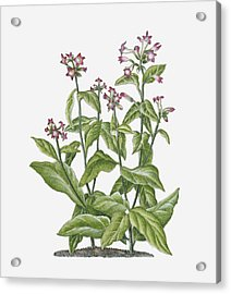 Illustration Of Nicotiana Tabacum (tobacco) Bearing Pink-white Flowers On Long Stems With Green Leaves Acrylic Print by Ruth Hall