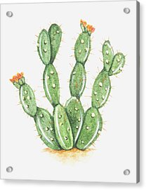 Illustration Of Opuntia Sp (prickly Pear Cactus) In Bloom Acrylic Print