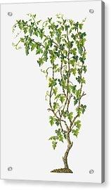 Illustration Of Vitis Vinifera (common Grape Vine) Bearing Bunches Of Ripe Green Fruit Acrylic Print by Dorling Kindersley