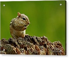 I'm Almost Stuffed- Chipmunk In The Forest Acrylic Print