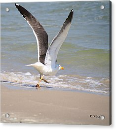Im Out Of Here - Lesser Black-backed Gull Acrylic Print by Roena King