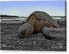 I'm Tired Acrylic Print by David Taylor