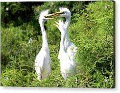 Immature Egrets Acrylic Print