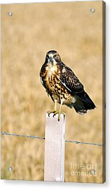 Immature Swainson's Hawk Acrylic Print by Laura Mountainspring