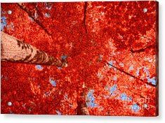 Impression Of Red Maple Acrylic Print by Charline Xia