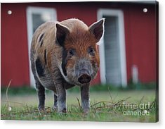 In Front Of The Red Barn Acrylic Print by Lynda Dawson-Youngclaus