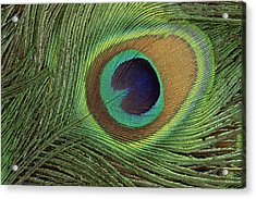 Indian Peafowl Pavo Cristatus Display Acrylic Print by Gerry Ellis