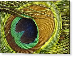 Indian Peafowl Pavo Cristatus Male Acrylic Print by Gerry Ellis