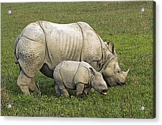 Indian Rhinoceroses Acrylic Print