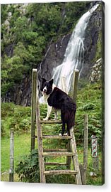 Indy At Aber Falls Acrylic Print by Michael Haslam
