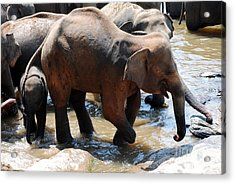 Acrylic Print featuring the photograph Injured Elephant  by Pravine Chester
