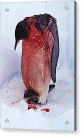Injured Emperor Penguin Acrylic Print by Doug Allan