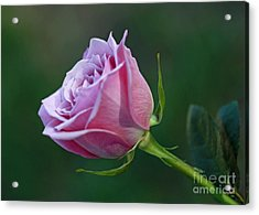 Innocence At Sunrise- Pink Rose Blossom Acrylic Print by Inspired Nature Photography Fine Art Photography