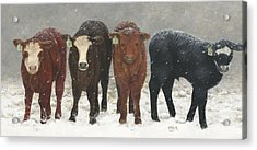 Inquisitive Calves Acrylic Print