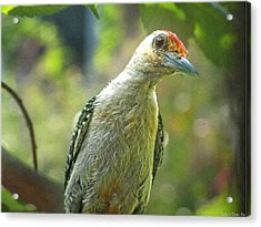 Acrylic Print featuring the photograph Inquisitive Woodpecker by Debbie Portwood