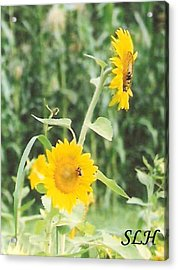 Insect On Sunflowers Acrylic Print