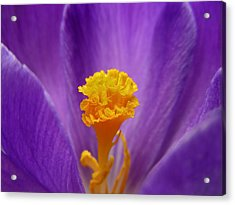 Inside A Crocus Acrylic Print by Mary Lane