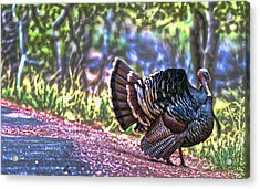 Intense Tom Turkey Display Acrylic Print by Gregory Scott