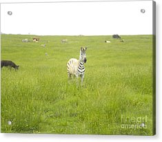 Interested Acrylic Print by Tessa Priddy