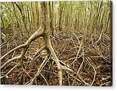 Interior Views Of Tall Mangrove Forest Acrylic Print by Tim Laman