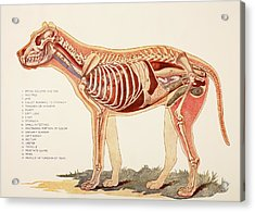 Internal Organs Of A Male Dog.  From Acrylic Print by Ken Welsh