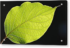 Acrylic Print featuring the photograph Intricacies Of A Leaf by Mary McAvoy