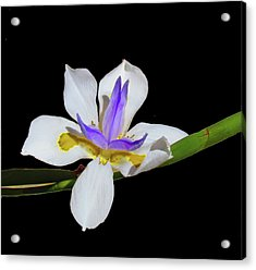 Acrylic Print featuring the photograph Iris by Bonnie Muir