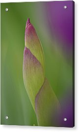 Iris-istible 2 Acrylic Print by JD Grimes