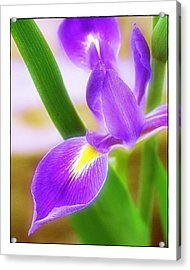 Iris On Pointe Acrylic Print by Judi Bagwell