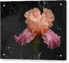 Acrylic Print featuring the photograph Iris2 by David Pantuso