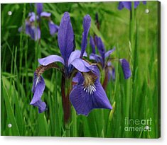 Irises Acrylic Print by Randi Shenkman