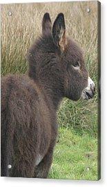 Irish Donkey Foal Acrylic Print by Joseph Doyle