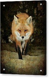 Island Beach Fox Acrylic Print