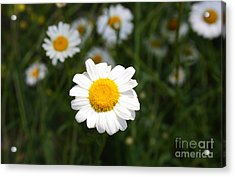 Acrylic Print featuring the photograph Isn't That A Daisy by Tony Cooper