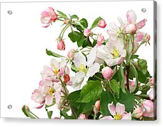Acrylic Print featuring the photograph Isolated Pink Apple Flowers by Aleksandr Volkov