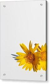Isolated Yellow Chrysanthemum Flower Acrylic Print by Gal Ashkenazi