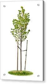 Isolated Young Linden Tree Acrylic Print by Elena Elisseeva