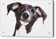 Italian Greyhound Puppy Spruce Grove Acrylic Print