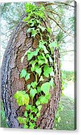 Ivy Tree Acrylic Print by Paula Deutz
