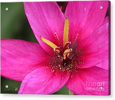 Acrylic Print featuring the photograph Ixia Named Venus by J McCombie