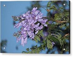 Jacaranda Mimosifolia Acrylic Print by Elizabeth  Doran