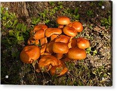 Jack Olantern Mushroom 1 Acrylic Print by Douglas Barnett
