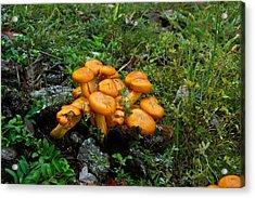 Jack Olantern Mushrooms 13 Acrylic Print by Douglas Barnett