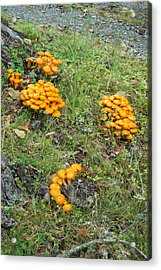 Jack Olantern Mushrooms 15 Acrylic Print