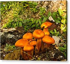 Jack Olantern Mushrooms 32 Acrylic Print by Douglas Barnett