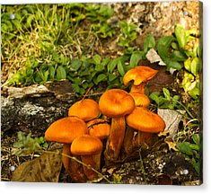 Jack Olantern Mushrooms 7 Acrylic Print by Douglas Barnett