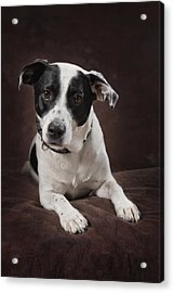 Jack Russell Terrier On A Brown Studio Acrylic Print by Corey Hochachka